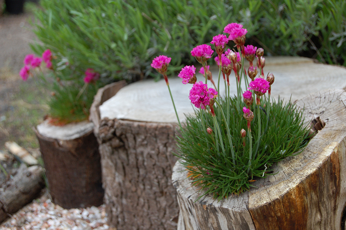 Armeria Alpine flowering plat set into a hollow log off-cut  in