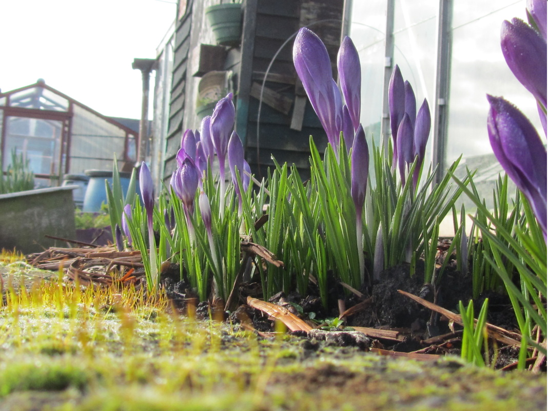 Early crocuses
