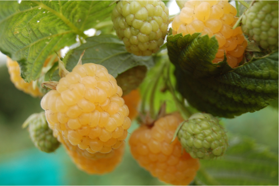 Yellow Raspberry Fruit