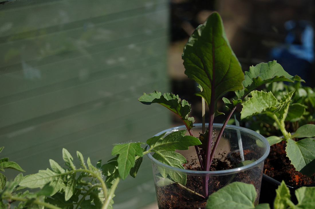 Flower Sprount, Superfood cross between Brussels Sprout and British Kale