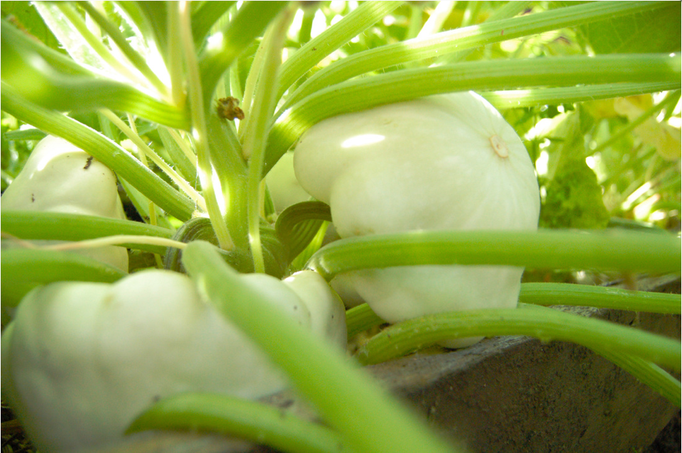 White Bush Scallop Squash