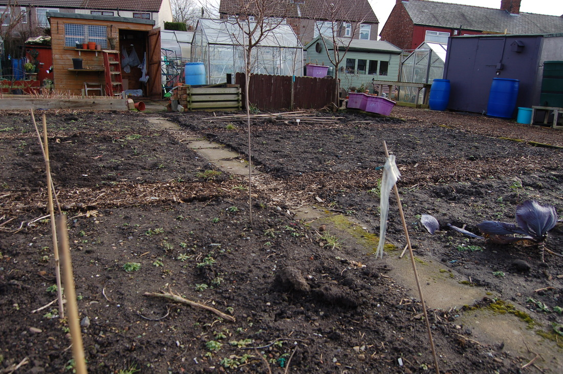 Albert's Half Plot with shed and greenhouse in the distance.