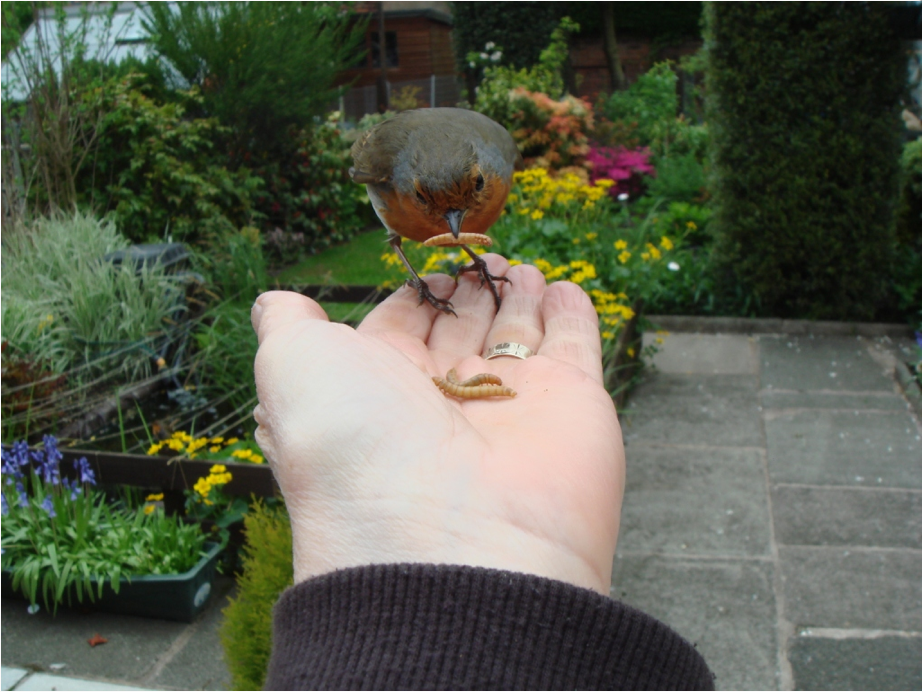 Robin feeding from Joan's hand