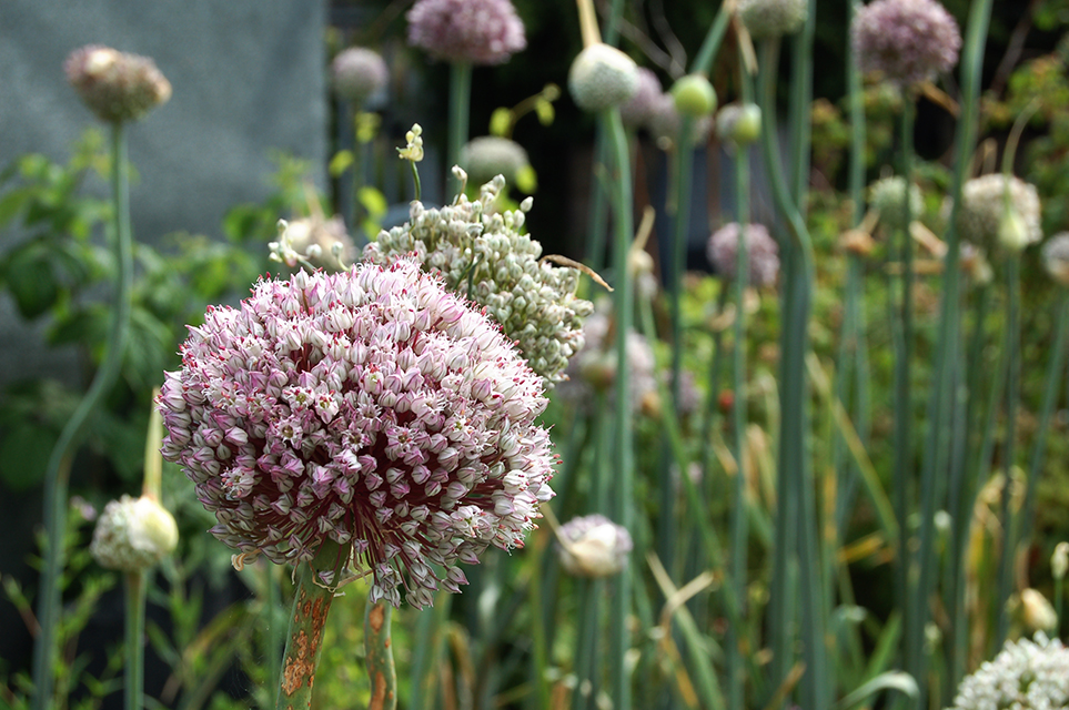 Large pink and white Allium flowers.